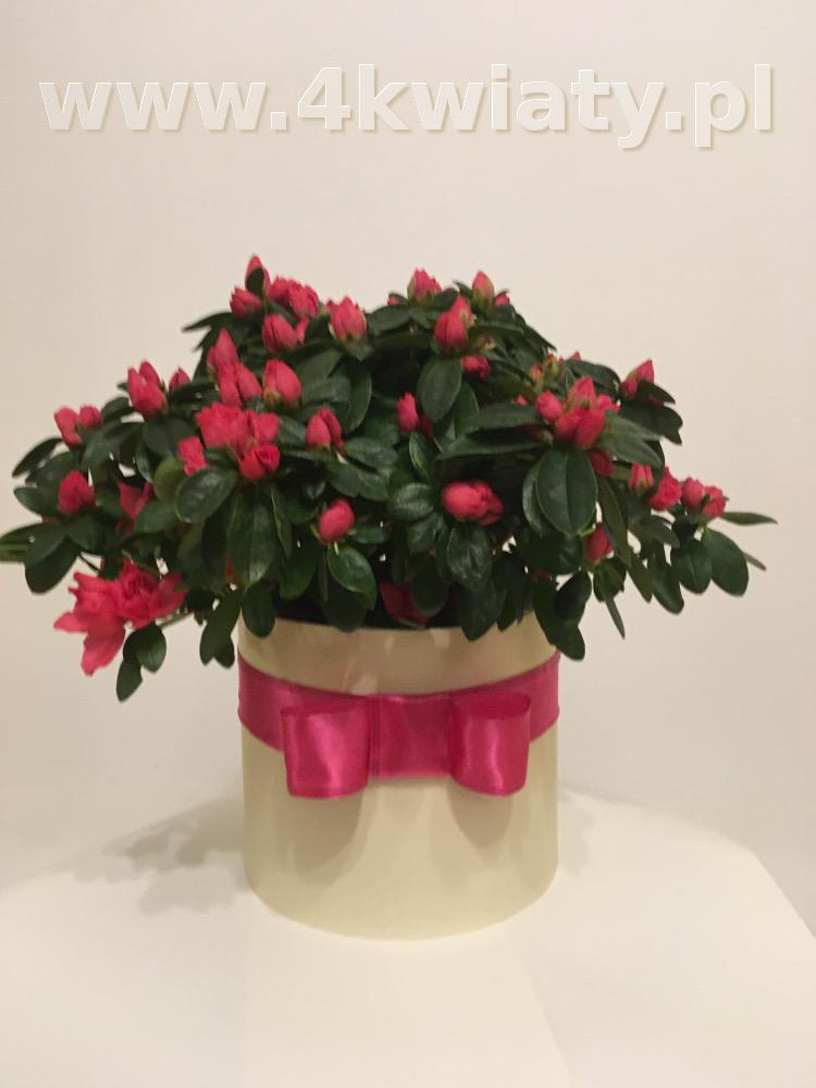 Flowerbox z kwiatem sezonowym, doniczkowym, azalia.