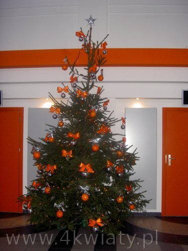 Choinka duża świerk pospolity ubrana dekoracjami pomarańczowymi i srebrnymi bombki kokardki niedrogo tanio